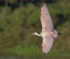 • Location - Stick Marsh<br /> • Immature Roseate Spoonbill in flight