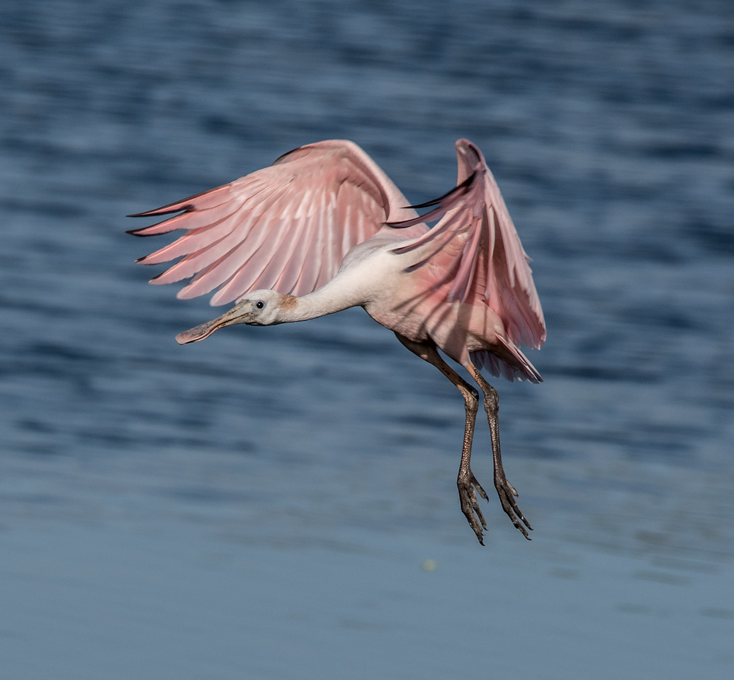 • Location - Stick Marsh<br /> • Immature Roseate Spoonbill coming in for landing