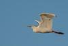 • Location - Stick Marsh<br /> • Cattle Egret in flight