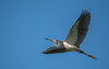 • Location - Stick Marsh<br /> • Tri-colored Heron in flight
