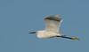 • Location - Stick Marsh<br /> • Snowy Egret in flight