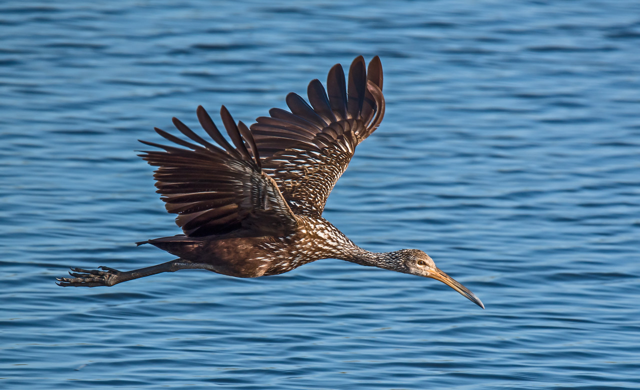 • Location - Stick Marsh<br /> • Limpkin in flight