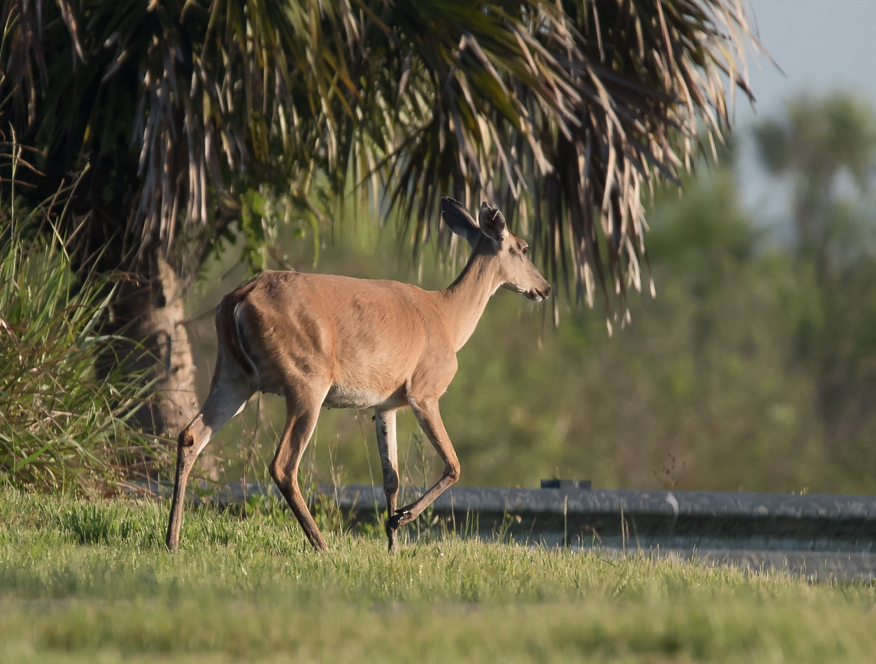 • Location - Stick Marsh<br /> • White-tailed Deer on the move
