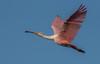 • Location - Stick Marsh<br /> • Mature Roseate Spoonbills in flight