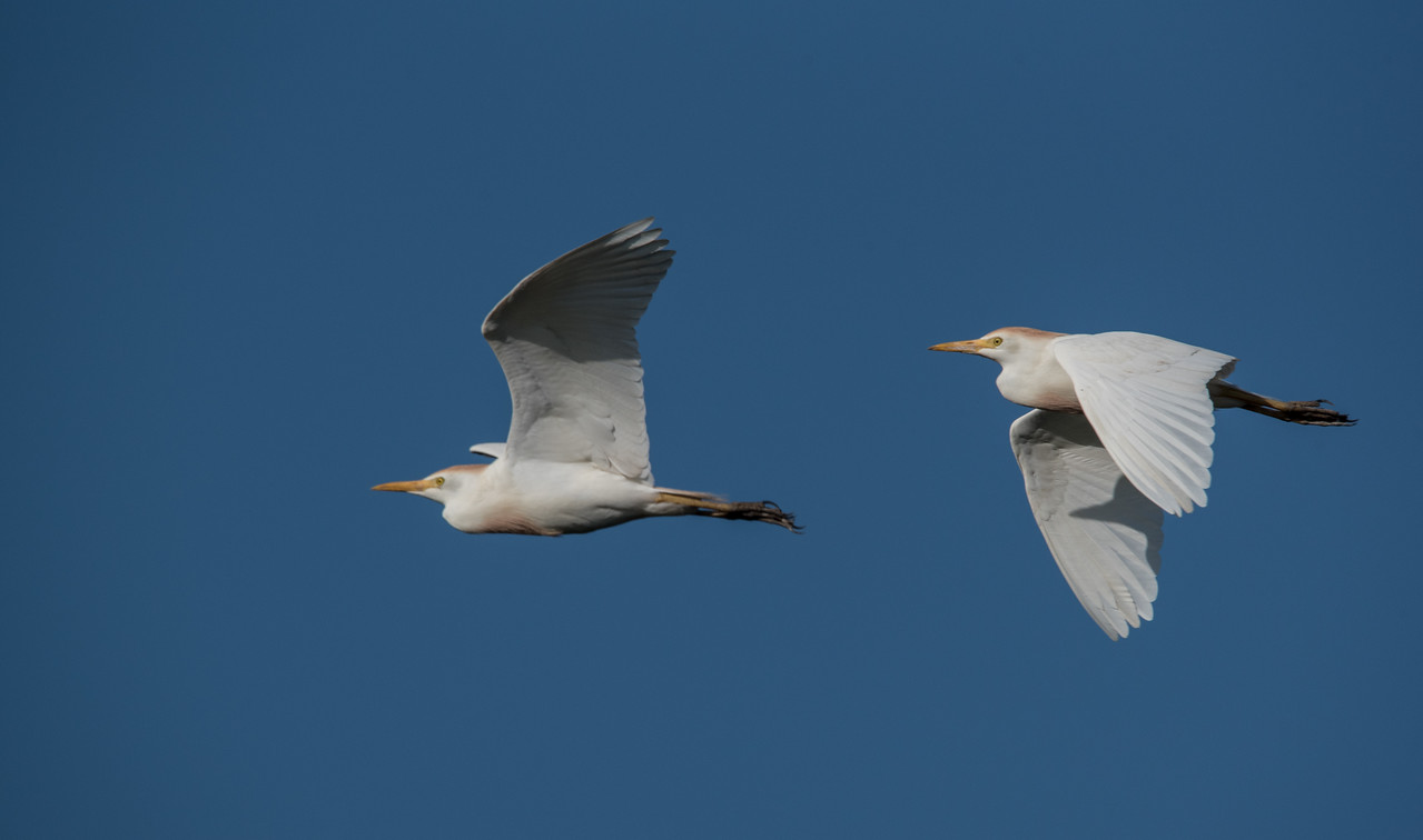 • Location - Stick Marsh<br /> • A pair of Cattle Egrets in flight
