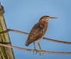 • Location - Stick Marsh<br /> • Green Heron