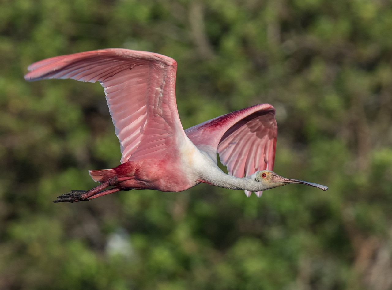 • Location - Stick Marsh<br /> • Mature Roseate Spoonbills in flight