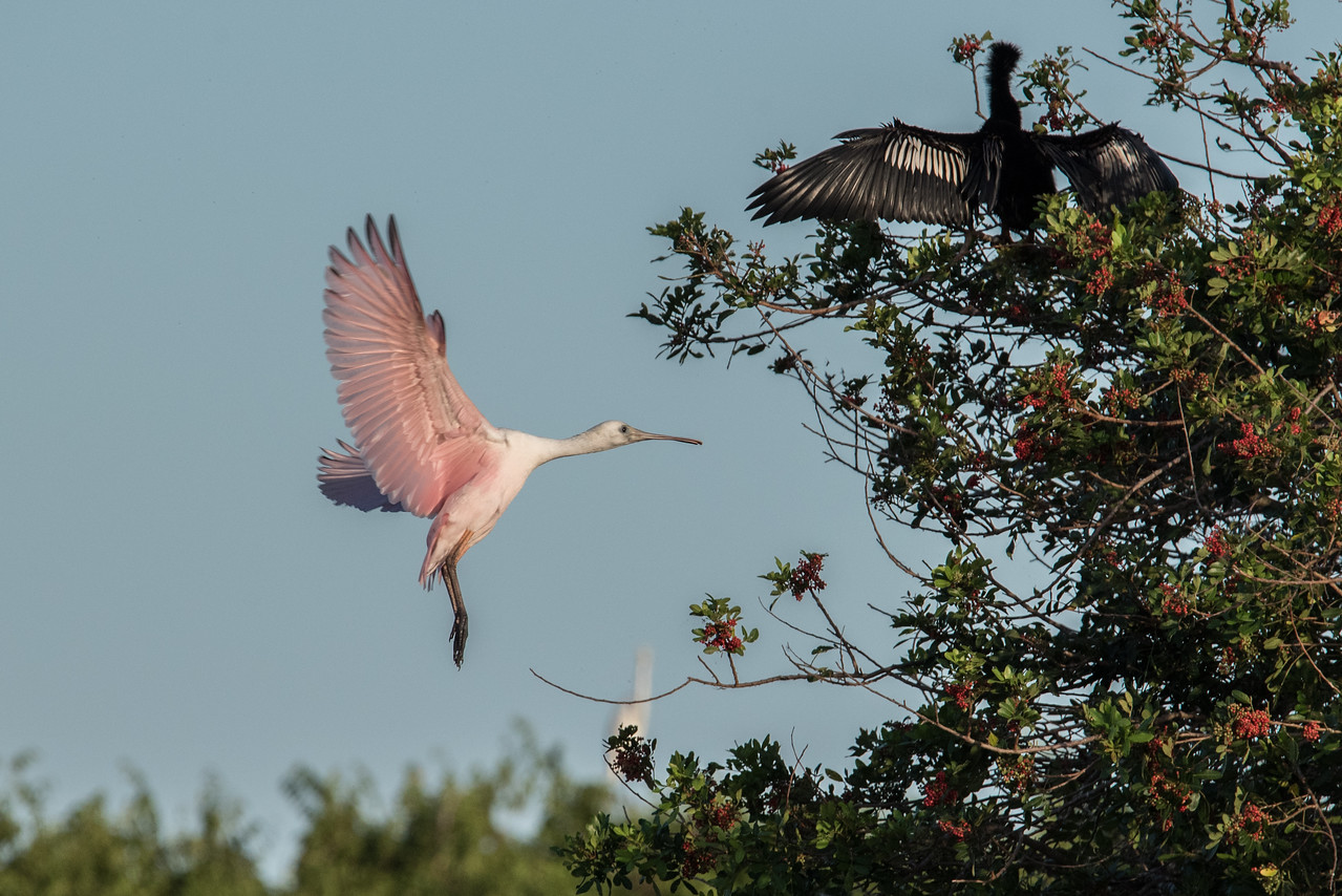 Juvenile Roseate Spoonbill coming in for a landing