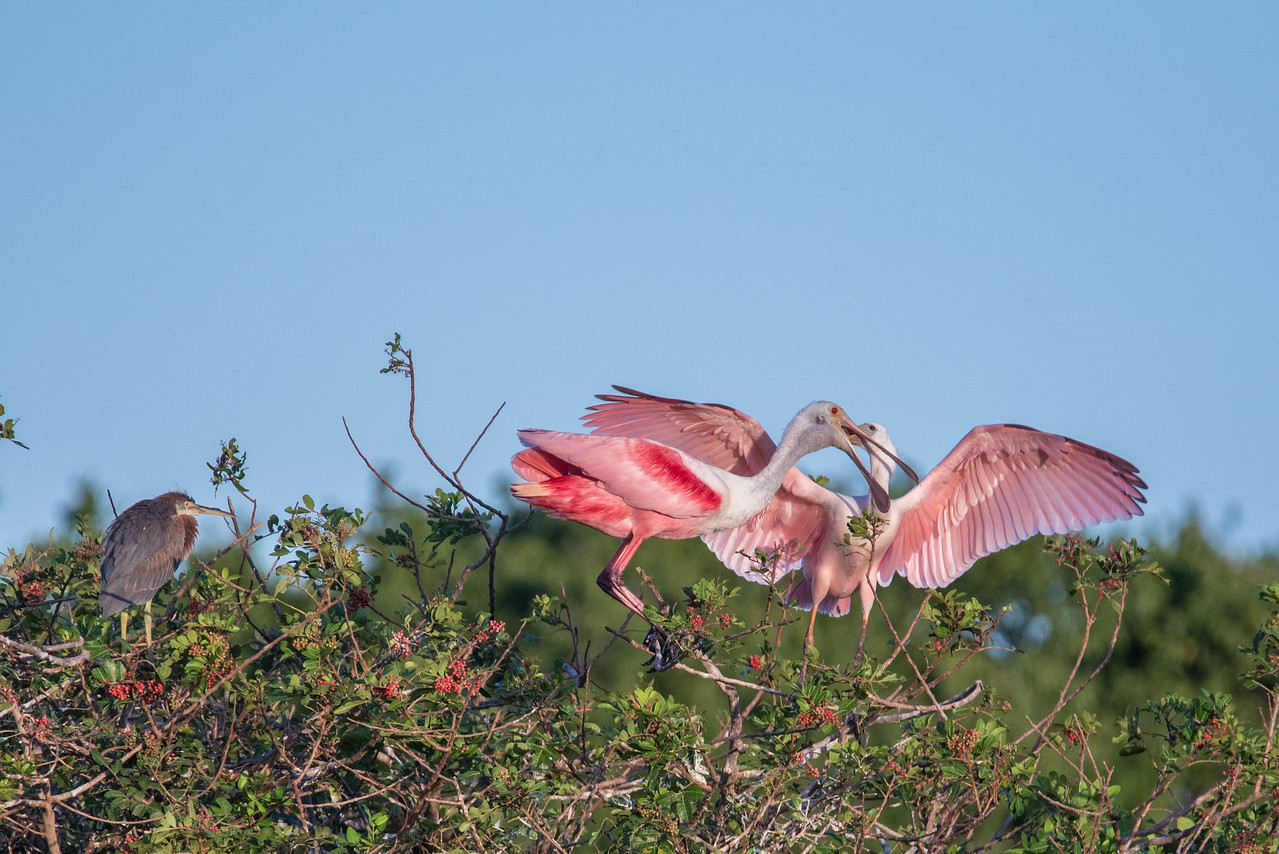 Parent Roseate Spoonbill feeding its baby