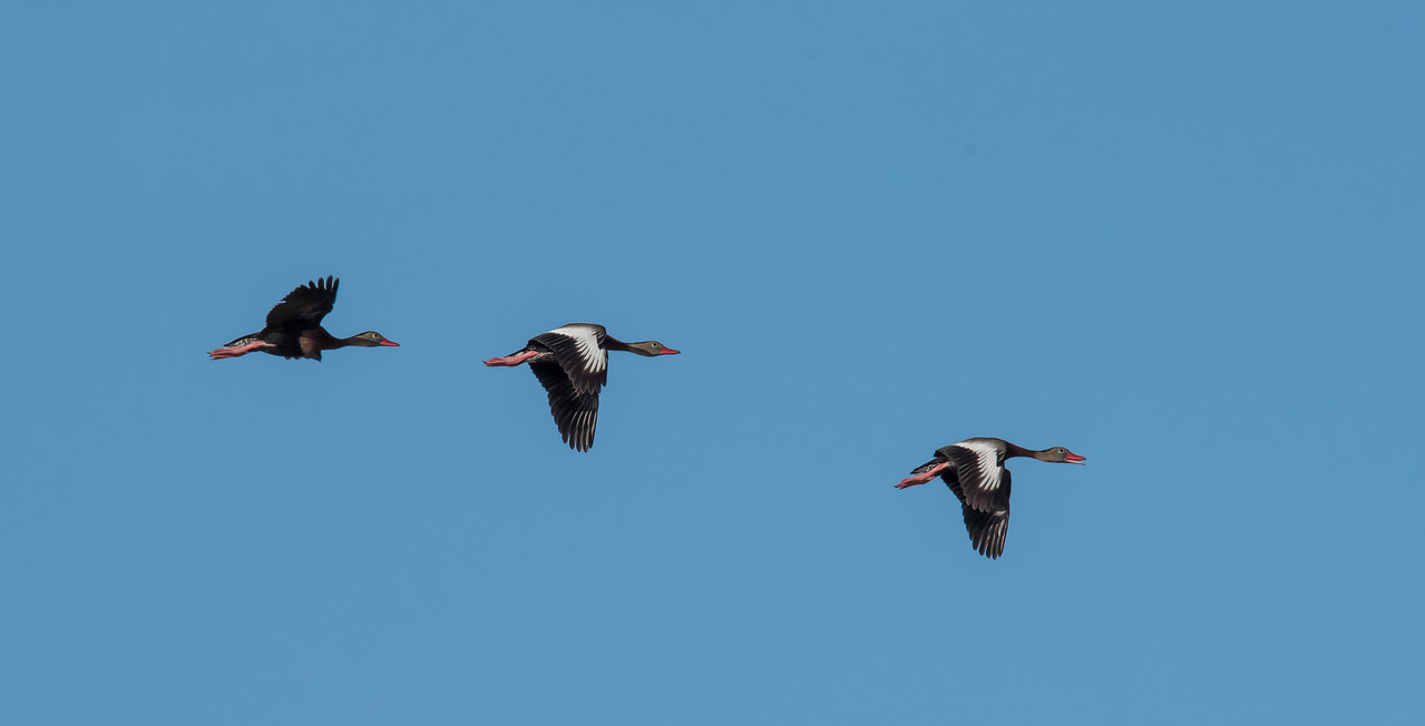 A trio of Black-Bellied Whistling Ducks in flight