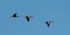 A trio of Black-Bellied Whistling Ducks in flight