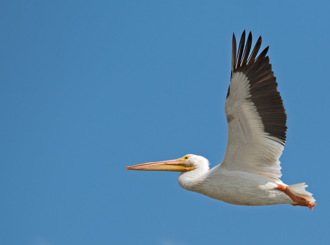 • Location -  Stadium Pkwy just north the entrance to Duran Golf Club on the NW side<br /> • American White Pelican in flight