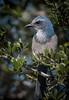 • Merritt Island National Wildlife Refuge<br /> • Scrub Jay