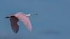 • Location - Stick Marsh by Sebastian Canal Road<br /> • Immature Roseate Spoonbill, in flight