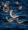 • Merritt Island National Wildlife Refuge<br /> • American Avocet