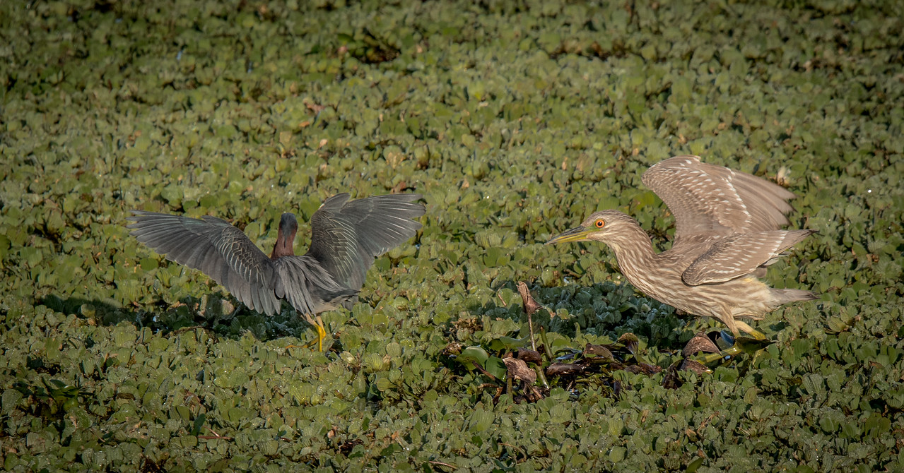 • Location - Stick Marsh by Sebastian Canal Road<br /> • Yellow-crowned Night Heron chasing a Green Heron