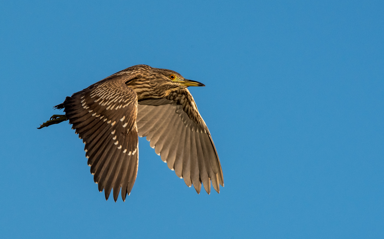 • Location - Stick Marsh by Sebastian Canal Road<br /> • Immature Yellow-crowned Night Heron