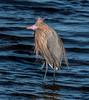 • Merritt Island National Wildlife Refuge<br /> • Breeding Reddish Egret