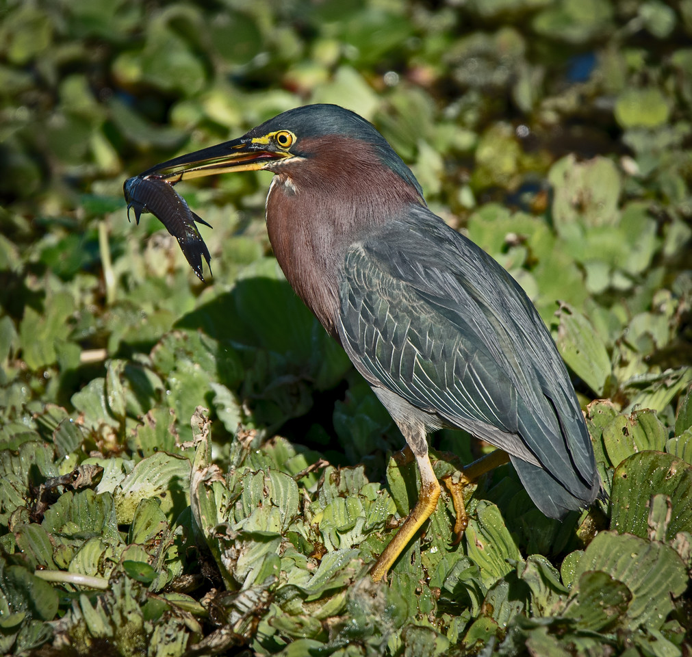 • Location - Stick Marsh by Sebastian Canal Road<br /> • Green Heron eating a fish