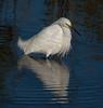 • Merritt Island National Wildlife Refuge<br /> • Snowy Egret with its reflection