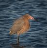 • Merritt Island National Wildlife Refuge<br /> • Reddish Egret with a mouth full