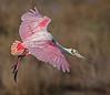• Merritt Island National Wildlife Refuge<br /> • Roseate Spoonbill In flight