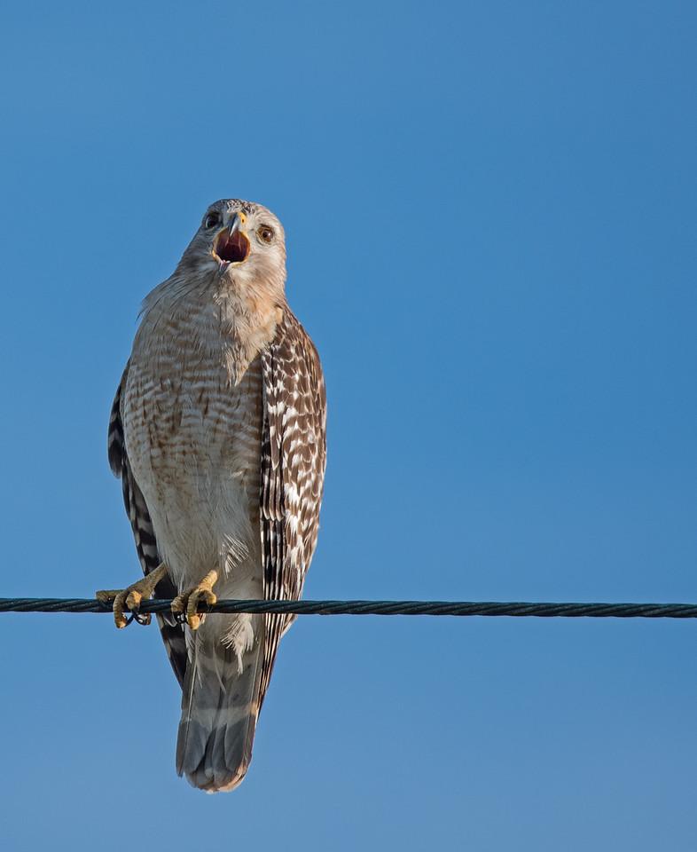 • Merritt Island National Wildlife Refuge<br /> • Red Shouldered Hawk calling its mate