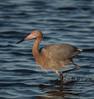 • Merritt Island National Wildlife Refuge<br /> • Reddish Egret on the move