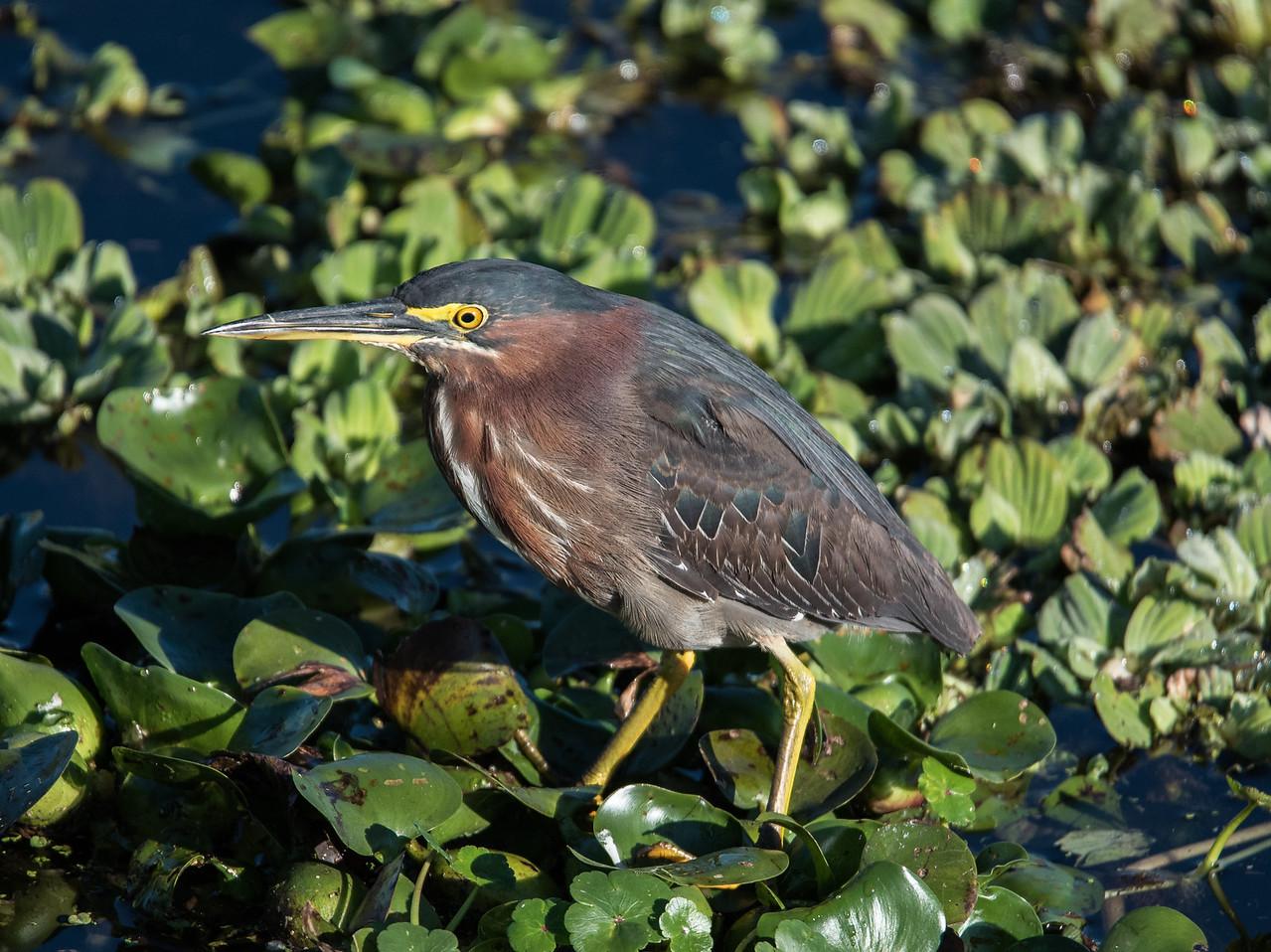 • Location - Stick Marsh by Sebastian Canal Road<br /> • Green Heron