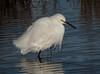 • Merritt Island National Wildlife Refuge<br /> • Snowy Egret,