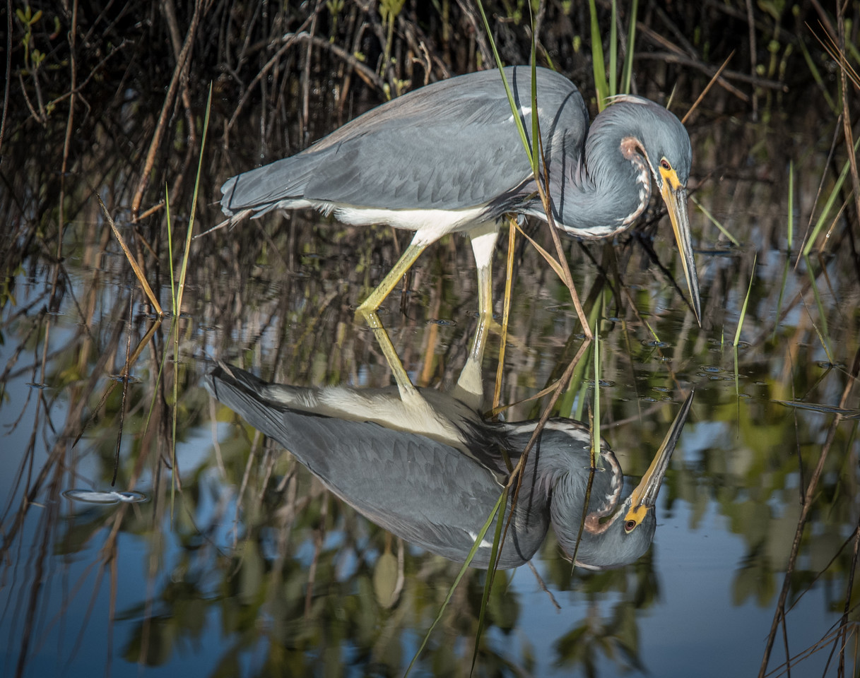 • Merritt Island National Wildlife Refuge<br /> • Tri-colored Heron with its reflection