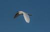 • Location - Stick Marsh by Sebastian Canal Road<br /> • Snowy Egret in flight