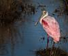 • Merritt Island National Wildlife Refuge<br /> • An adult Roseate Spoonbill