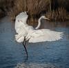 • Merritt Island National Wildlife Refuge<br /> • Great Egret coming in for landing