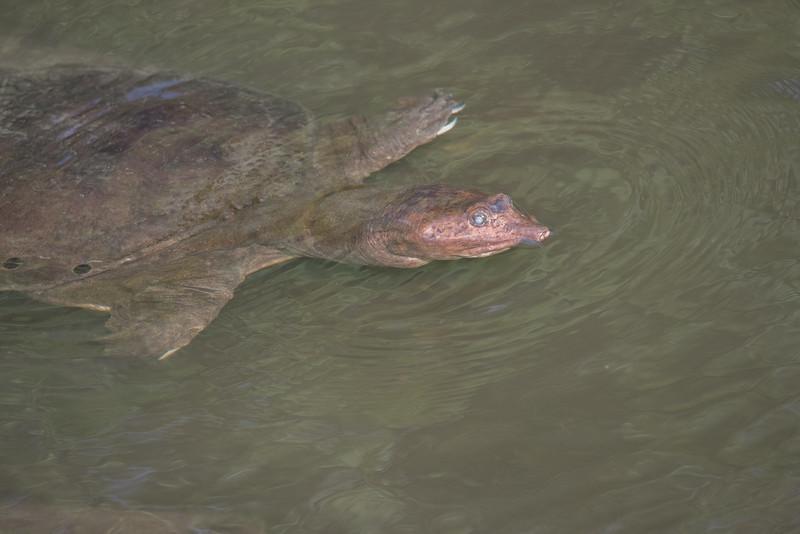• Location -S. Patrick Dr and Berkley St Satellite Beach<br /> • Florida Softshell Turtle