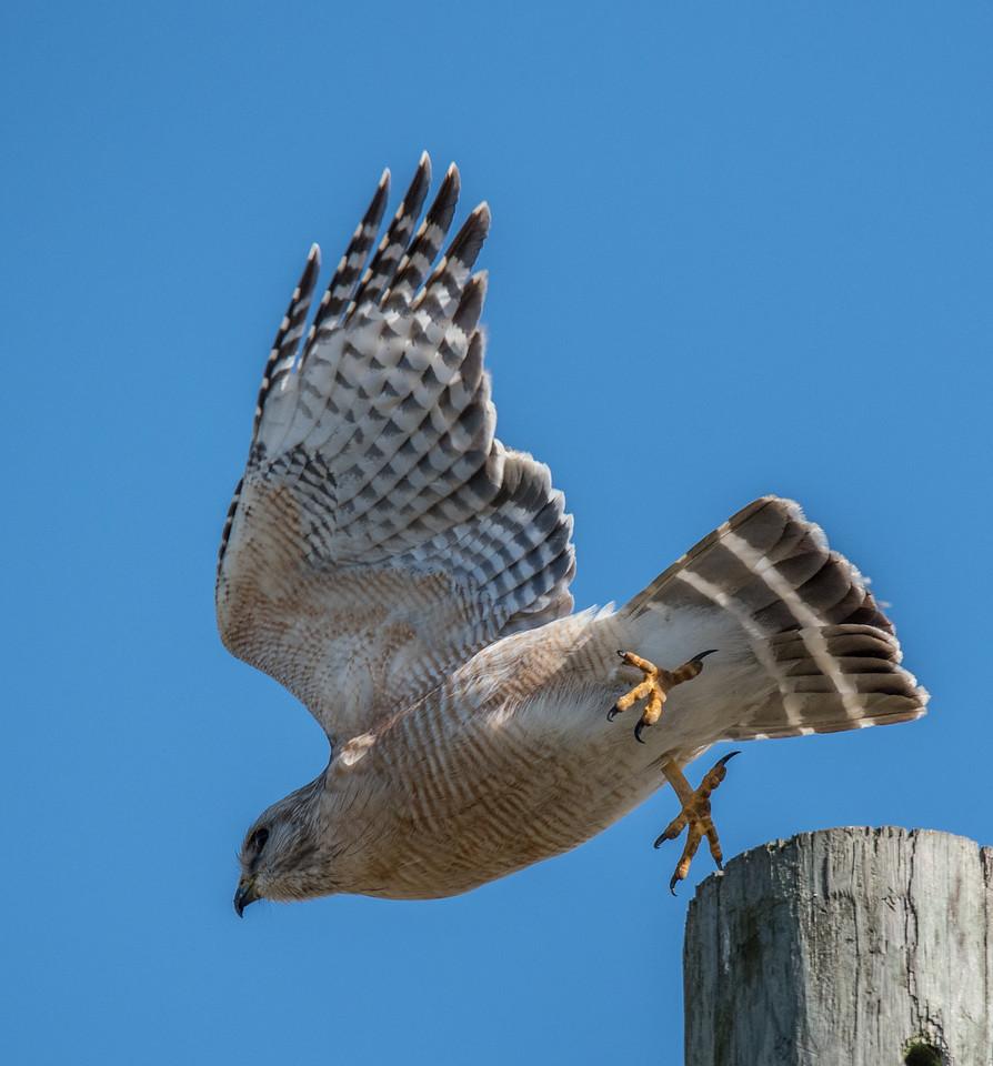 • Location - Joe Overstreet Rd<br /> • Red-shouldered Hawk taking off