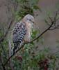• Location - Viera Wetland<br /> • Red-shouldered Hawk