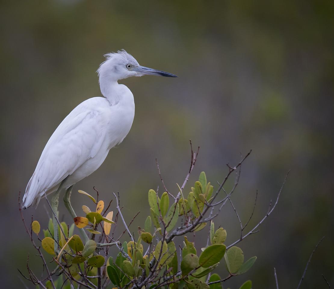 • Locution - Merritt Island National Wildlife Refuge<br /> • immature Little Blue Heron