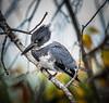 • Location - Merritt Island National Wildlife Refuge<br /> • Male Belted King Fisher