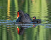 Moorhen with its young one
