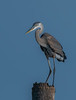 The Great Blue Heron is wondering what is happening down there.