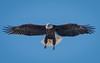 Male Bald Eagle ready to land on its nest. You can tell this is the male Bald Eagle because it is missing a talon on its right foot.