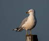 Close-up of a Ring-billed Gull