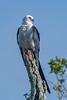 Swallow tailed Kite
