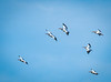 Group of White Pelicans in flight