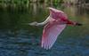 Roseate Spoon in flight