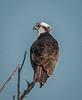 Osprey posing for me