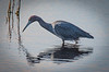 Little Blue Heron looking for a fish