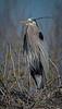 Great Blue Heron posing for me.