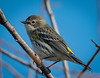 Yellow-rumped Warbler posing for me